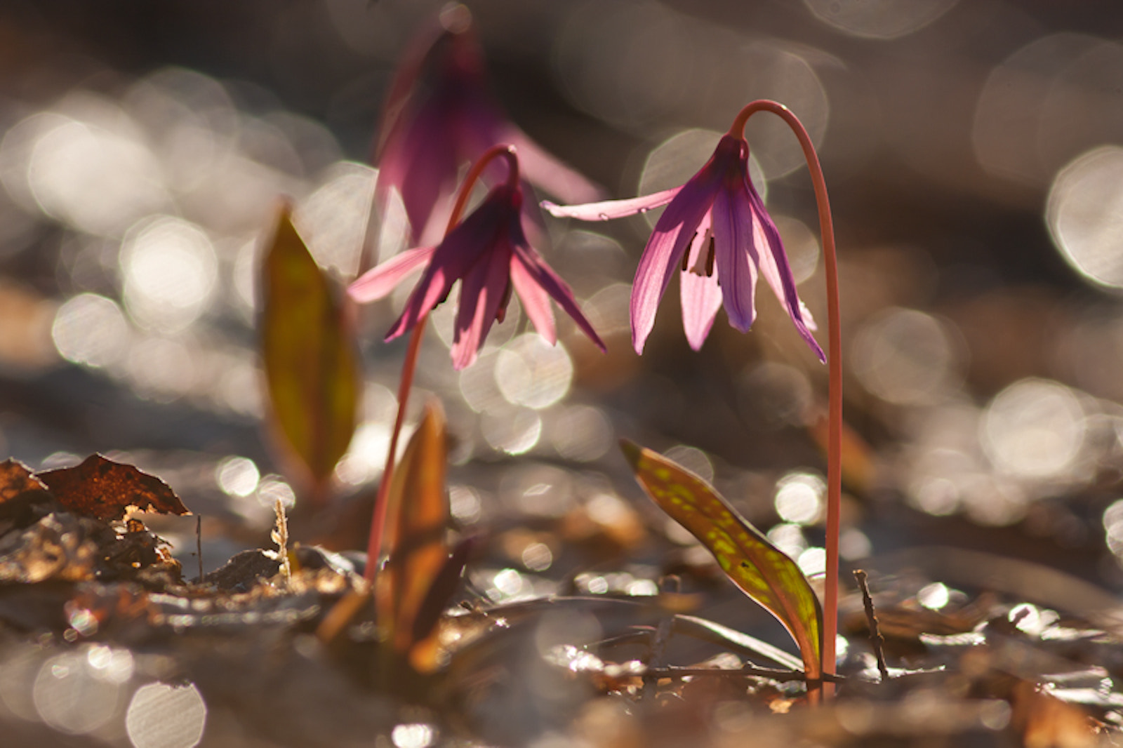Photograph Adder's grass (Erythronium dens-canis by Mykhaylo Bogomaz on 500px