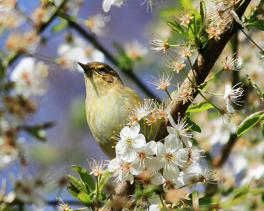 Chiffchaff in Blossom