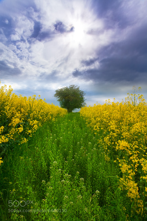 Photograph The Canola Fields Of Idaho by Kevin McNeal on 500px