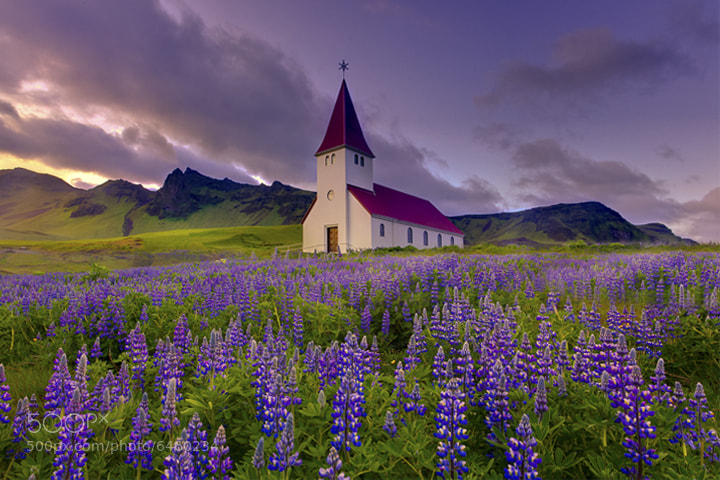 Photograph The Lupine Fields Of Iceland by Kevin McNeal on 500px
