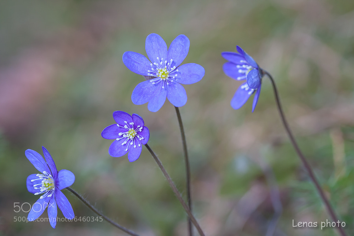 Photograph Anemone hepatica - four in a row by Lena Sætre on 500px