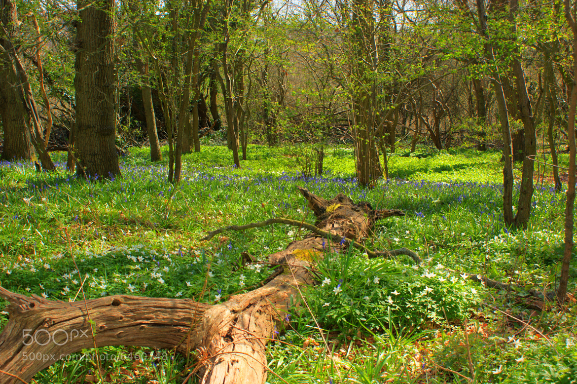 Photograph Bluebell Woods  by Steve Wallace on 500px