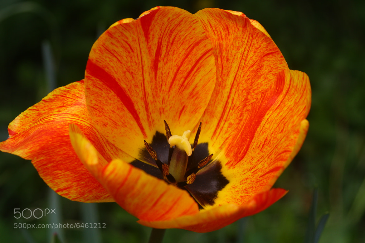 Photograph And another tulip .... by Arnold Winkler on 500px