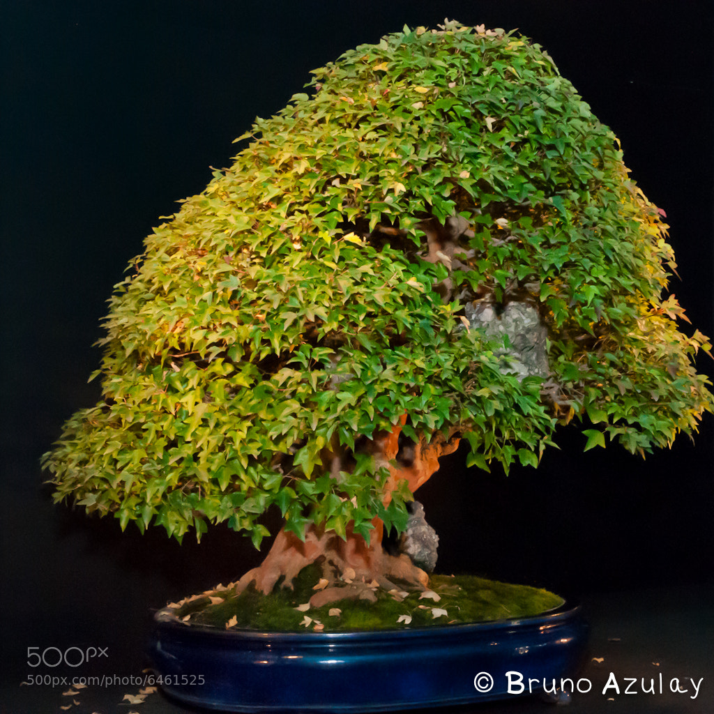Photograph Acer buergerianum / Érable by Bruno AzuLay on 500px