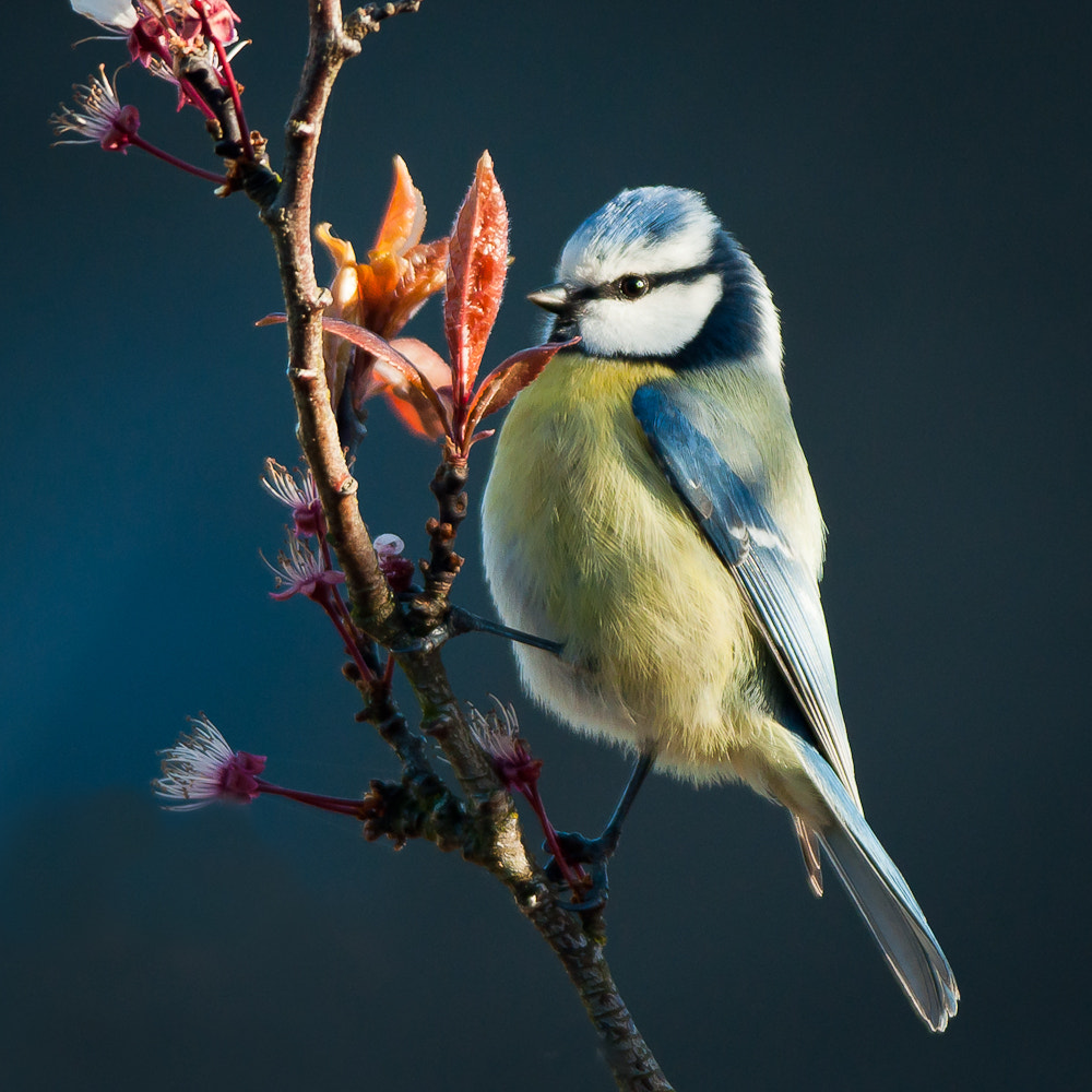 Photograph blue tit by Fin  Milder on 500px