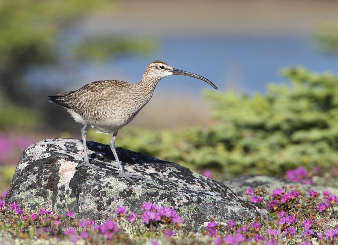 Photograph Whimbrel by David Hemmings on 500px