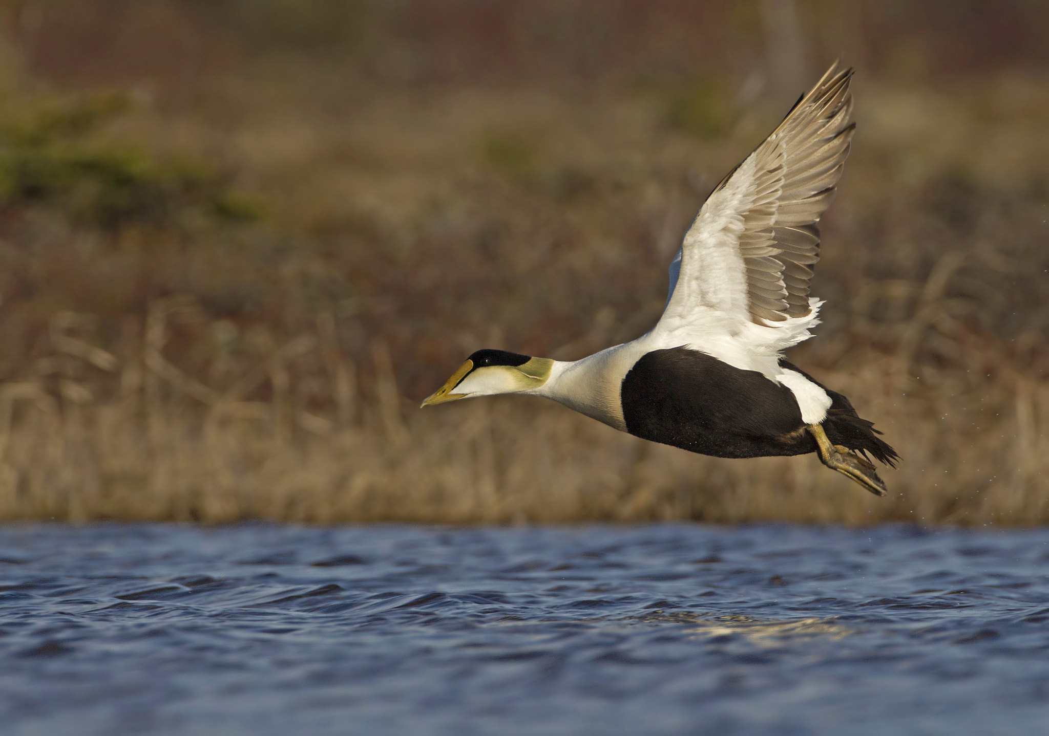 Photograph Common Eider (Somateria mollissima) by David Hemmings on 500px