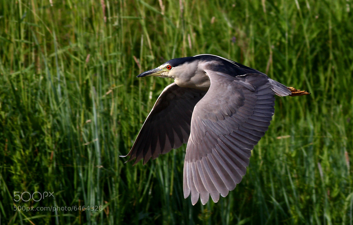 Photograph Black-crowned Night Heron by Jim Cumming on 500px
