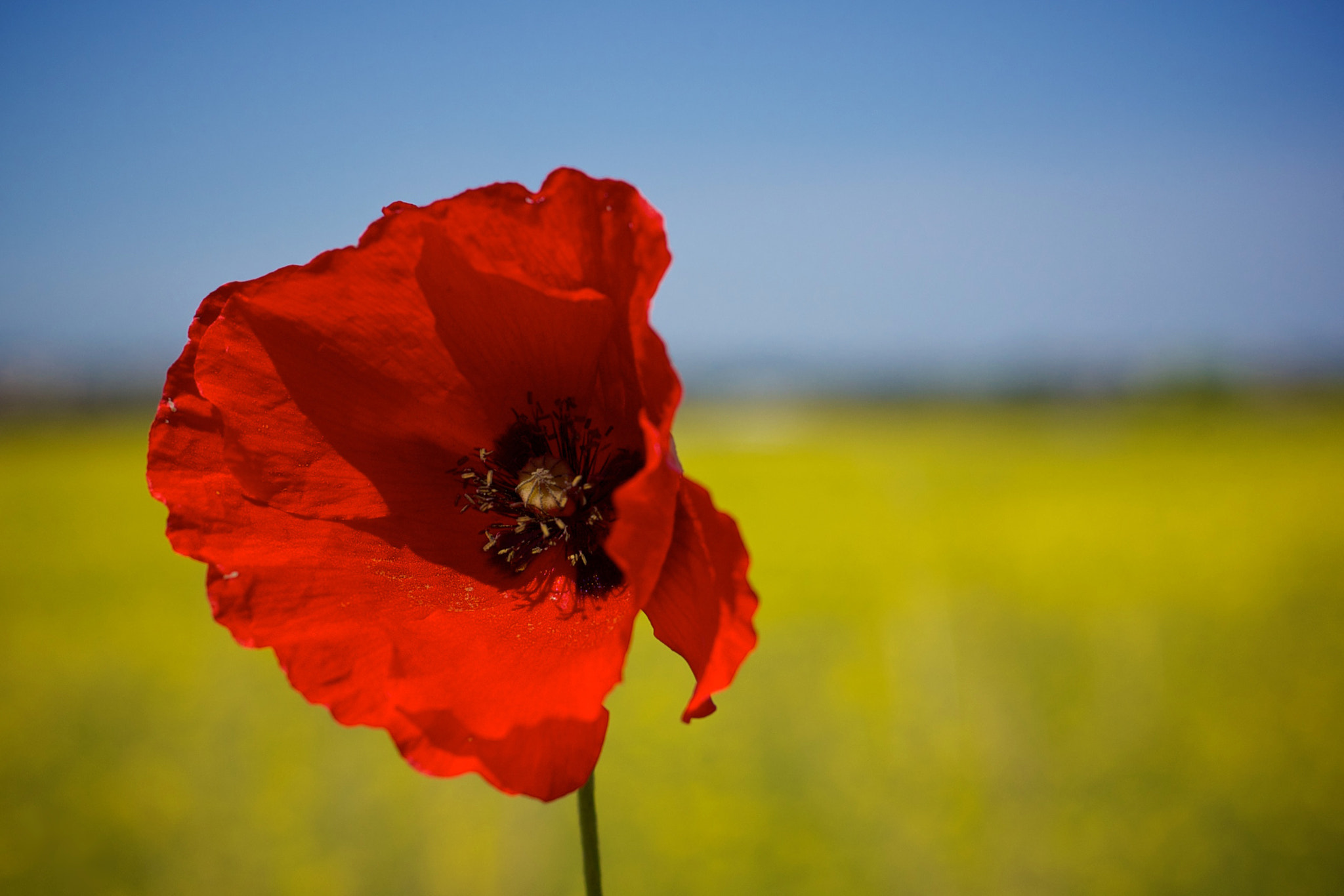 Photograph Poppy by Mariano Trissati on 500px