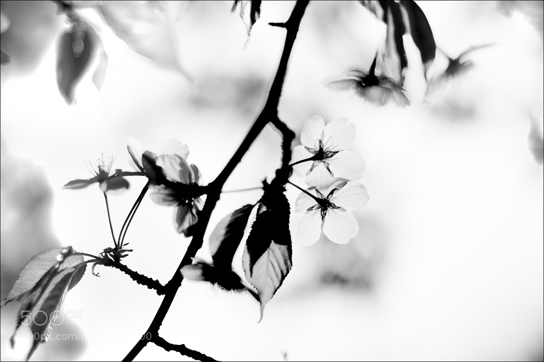 Photograph Sacura bw by Alexandra Karibskaya on 500px