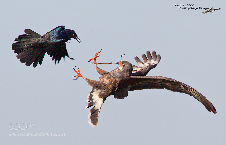 Photograph Take These! - Snail Kite by Ron Bielefeld on 500px