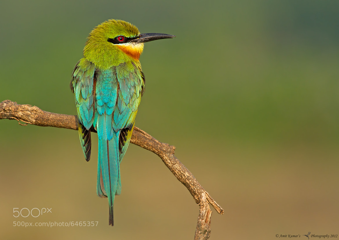 Photograph Blue-Tailed Bee Eater by Amit Kumar on 500px
