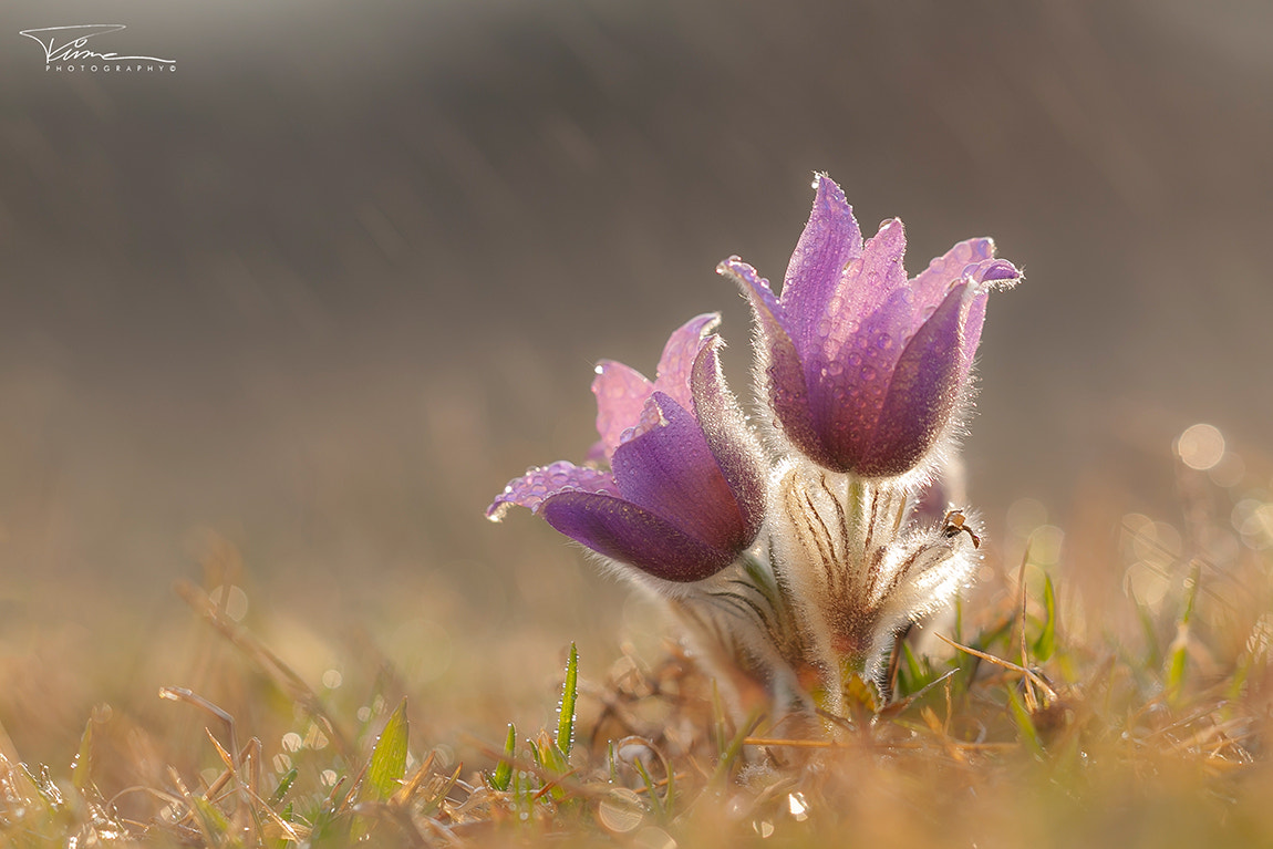 Photograph Pulsatilla grandis by Martin Tůma on 500px