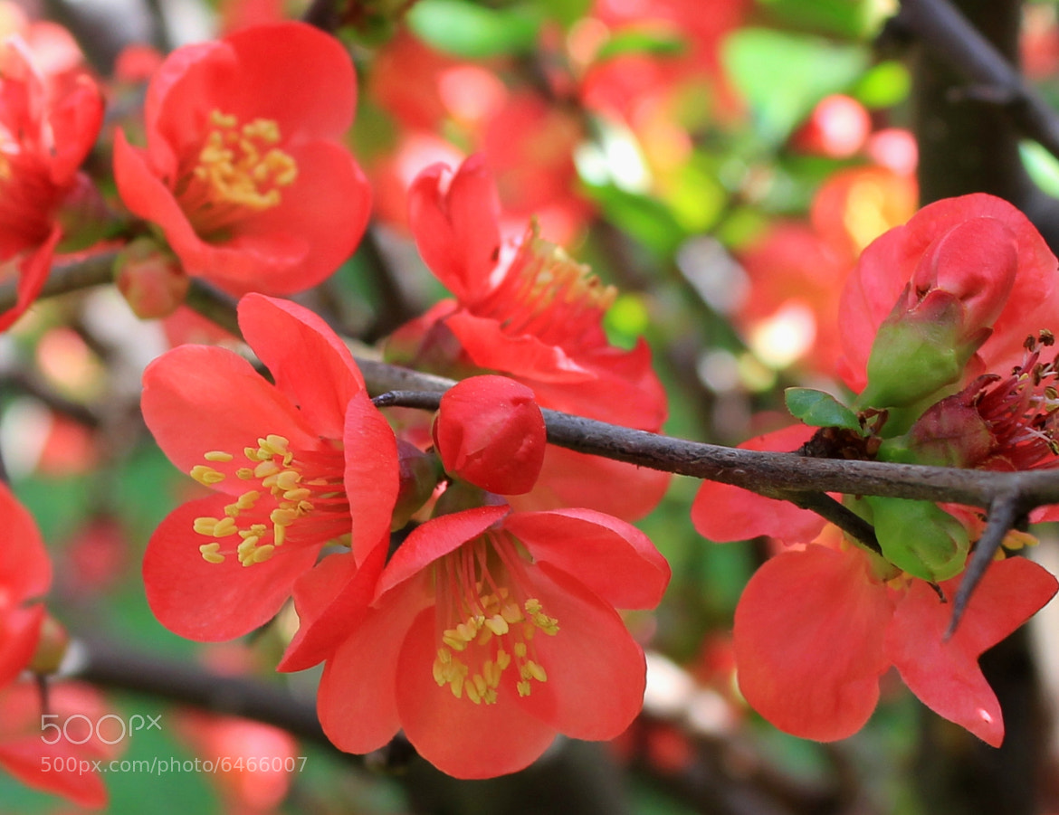 Photograph Cydonia japonica by zen free on 500px