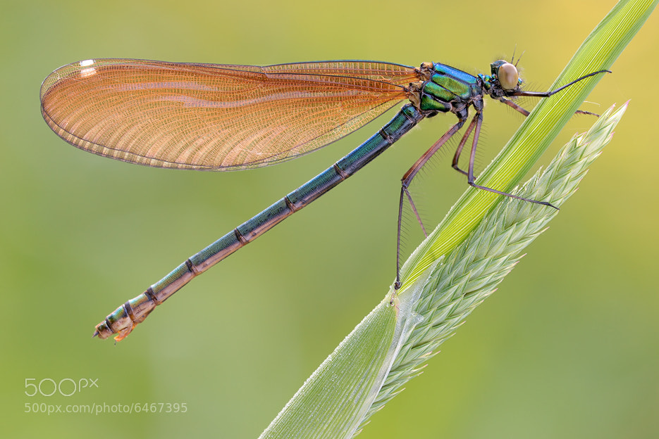 Photograph beautiful demoiselle by Martin Amm on 500px