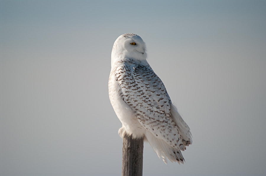 """Photograph Snowy Owl - """"I See you"""" by Glen Munro (gm_pentaxfan) on 500px"""