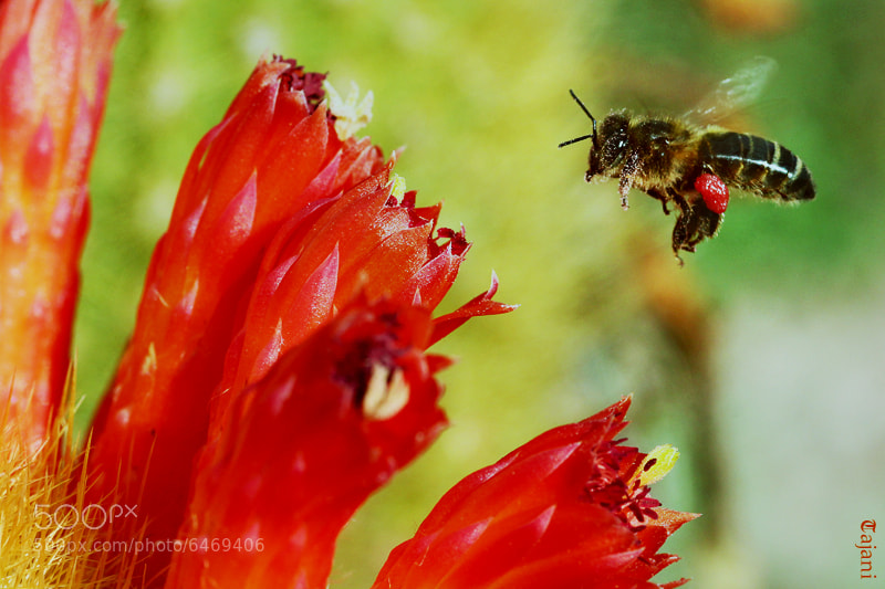 Photograph Bee by TAJANI ABDELOUAHED on 500px