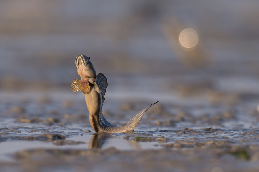 Photograph Mudskipper (Oxudercinae) by igano Kabamaru on 500px