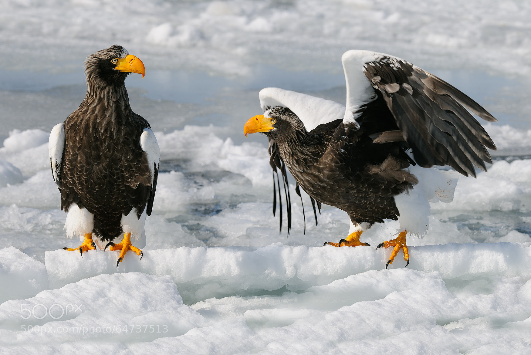 Sea Eagles on the drifting ice