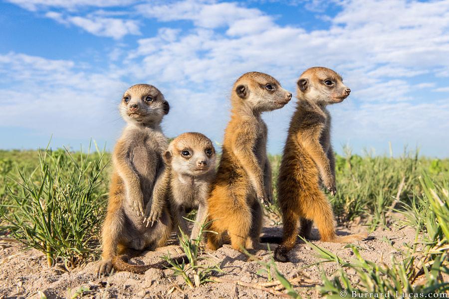 Baby meerkats, Kalahari Desert, Botswana
