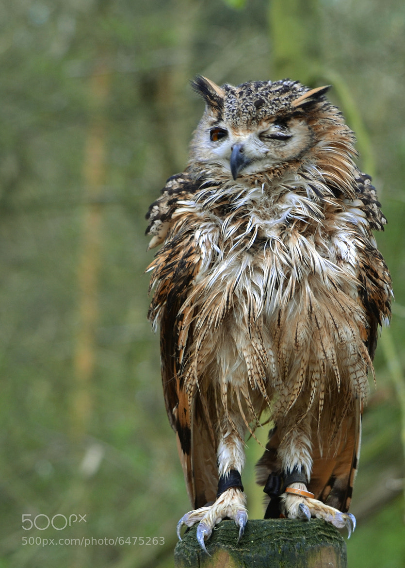 Photograph Bengal Eagle Owl by emily prouse on 500px