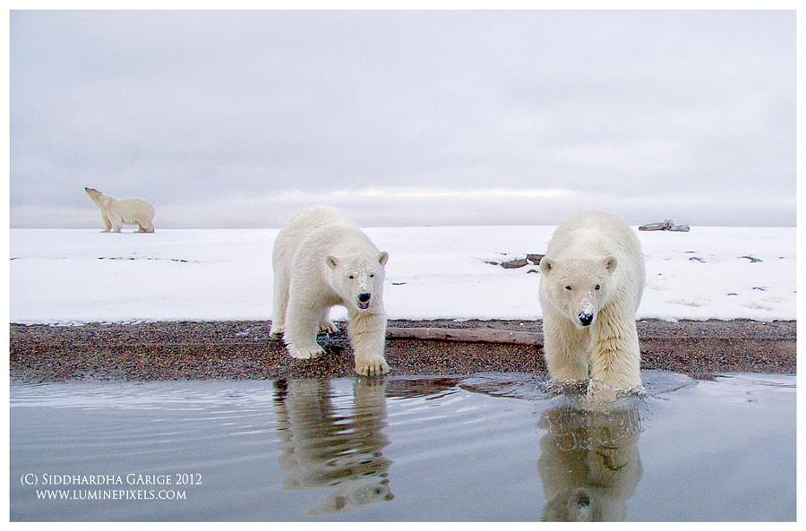 Nanuks of the North - Polar bears of Arctic
