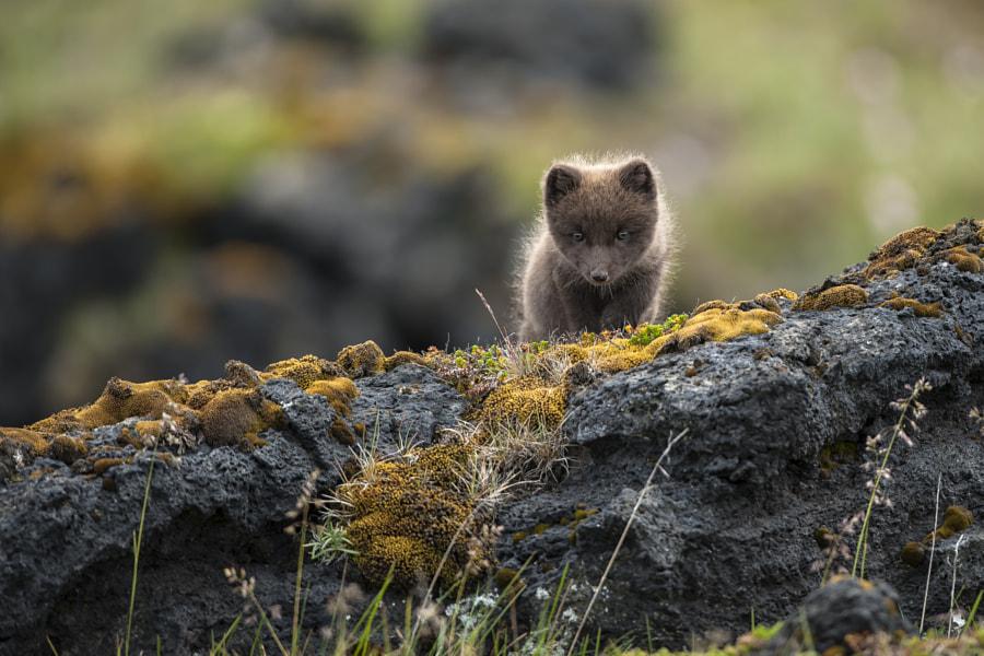 Arctic Fox (Vulpes lagopus fuliginosus) de Einar Gudmann en 500px.com