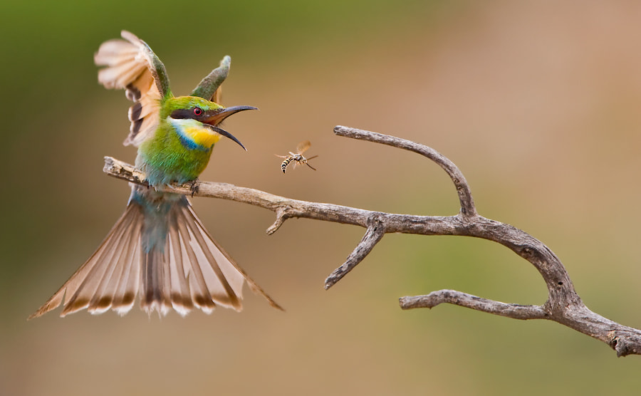 Photograph Bee 1 Eater 0 by Basie van Zyl on 500px