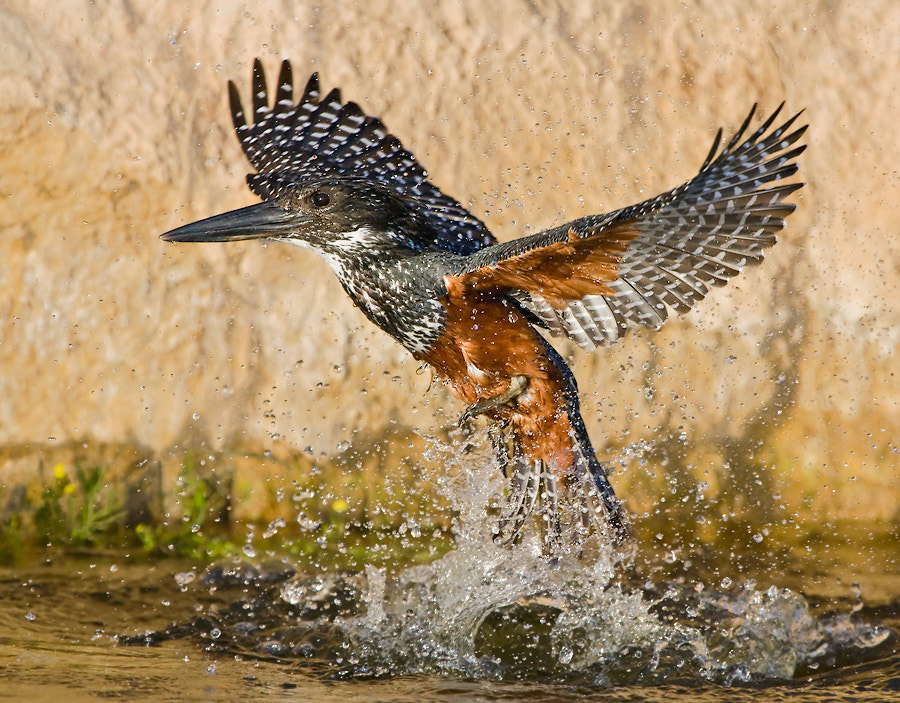 Photograph Giant Kingfisher Rise by Basie van Zyl on 500px