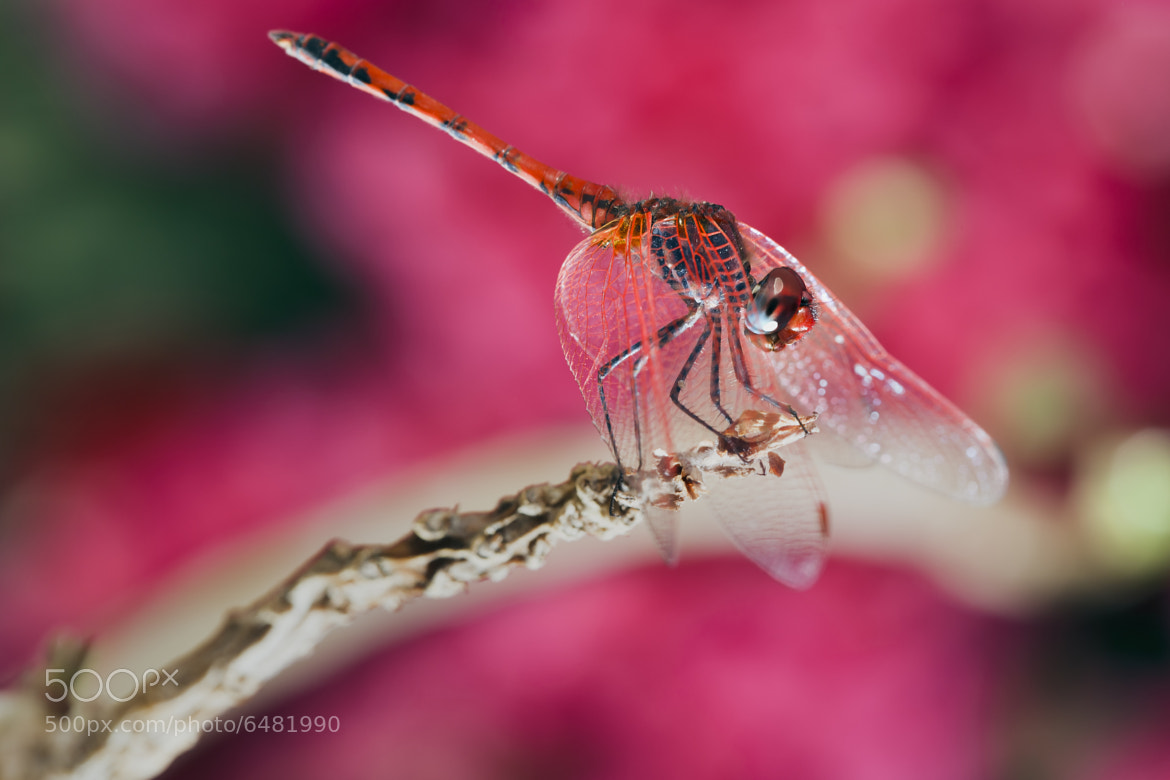 Photograph Red Dragonfly by Mohammed ALSULTAN on 500px