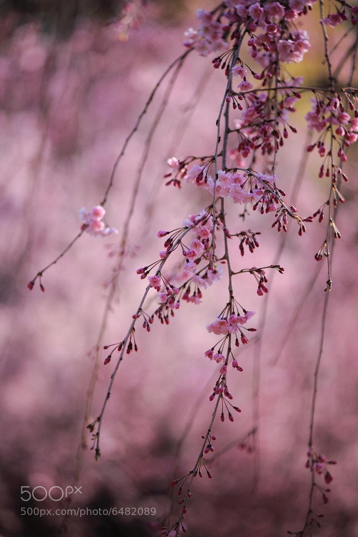 Photograph SAKURA by Noriko Tabuchi on 500px
