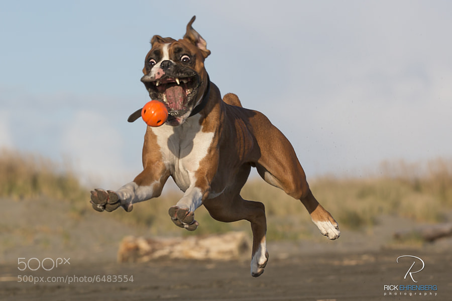 My dog REALLY loves to play ball.