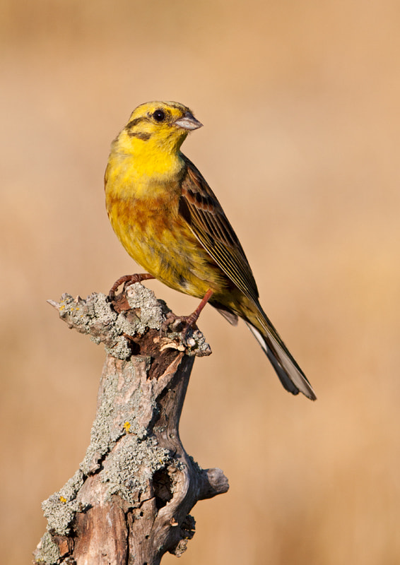 Photograph Yellowhammer by Lea Roberts on 500px