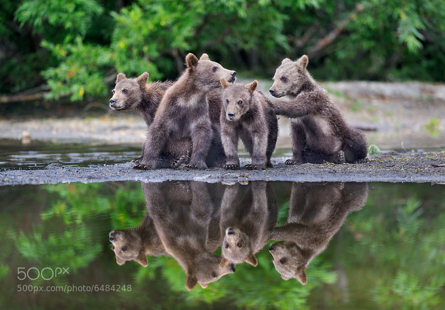 Photograph Eight bear cubs by Nikolai Zinoviev on 500px