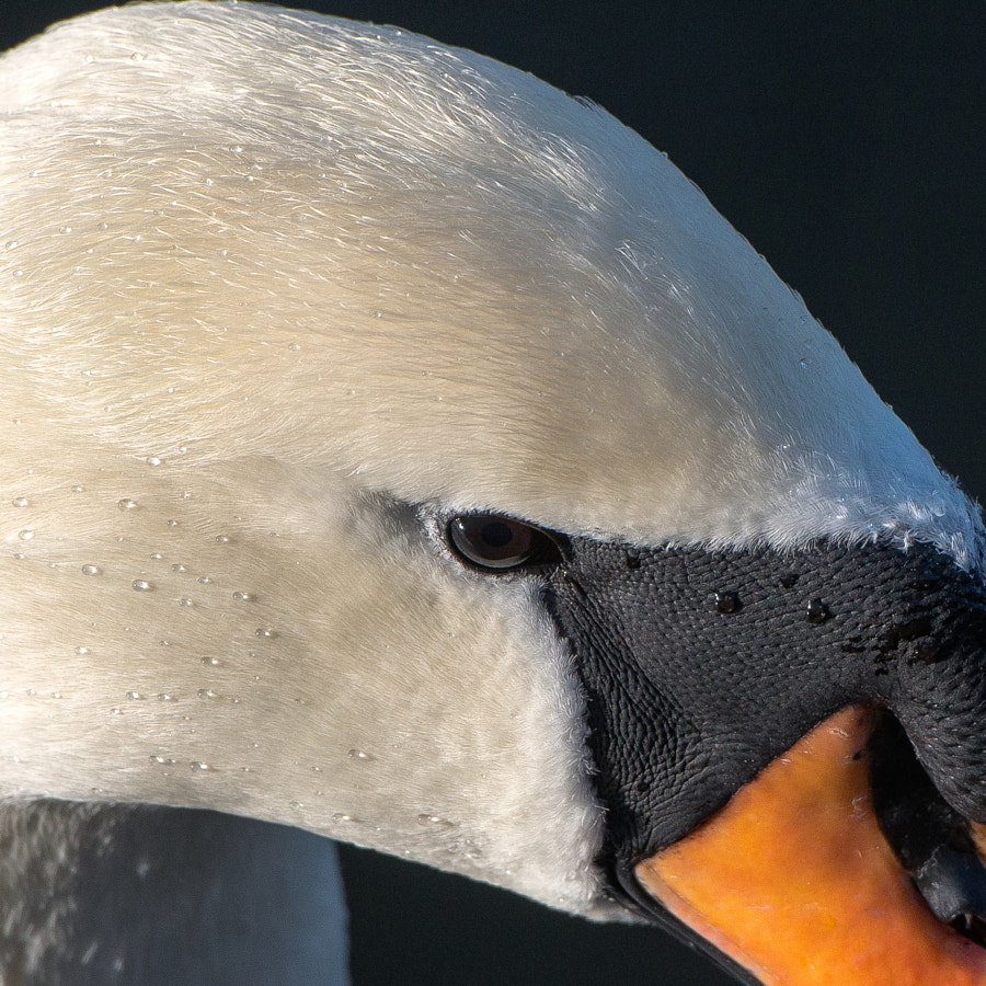 Donald the swan