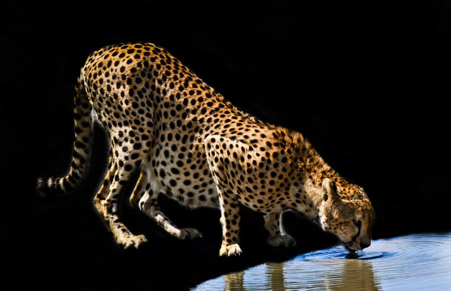 Cheetah at the water hole