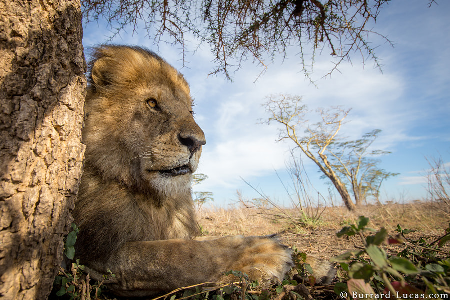 "A regal male lion photographed with <a href=""http://www.burrard-lucas.com/beetlecam/"">BeetleCam</a> in the Serengeti."