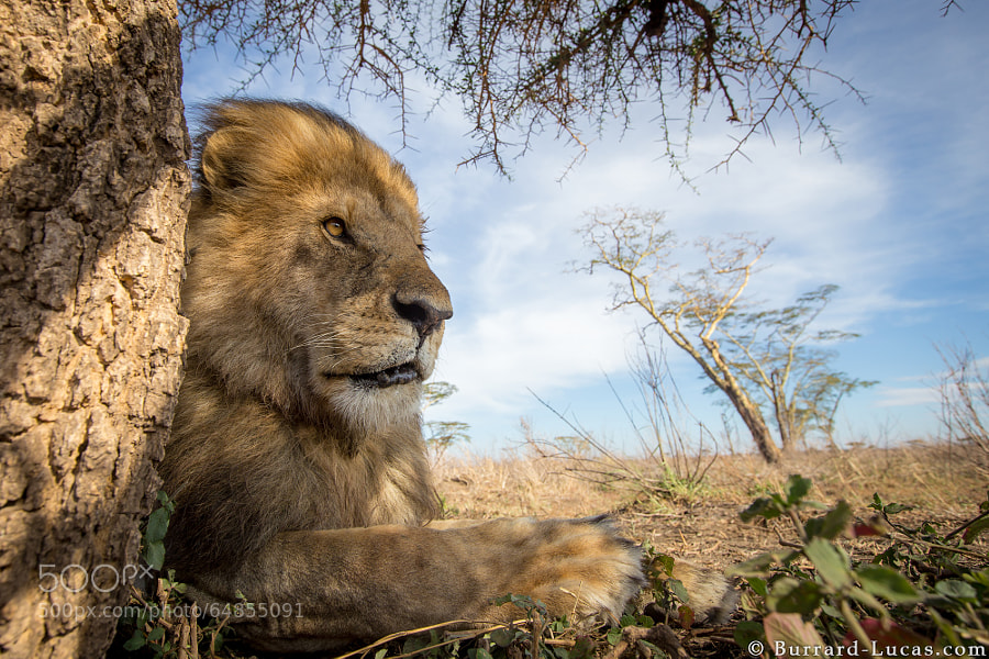 """A regal male lion photographed with <a href=""""http://www.burrard-lucas.com/beetlecam/"""">BeetleCam</a> in the Serengeti."""