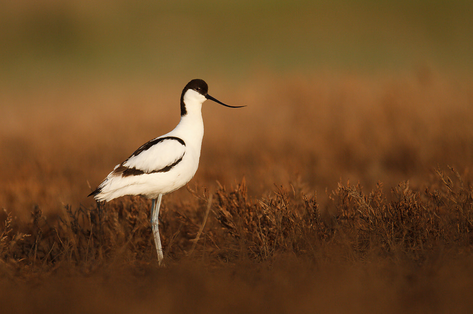 Photograph Pied Avocet Recurvirostra avosetta by Veselin Gramatikov on 500px