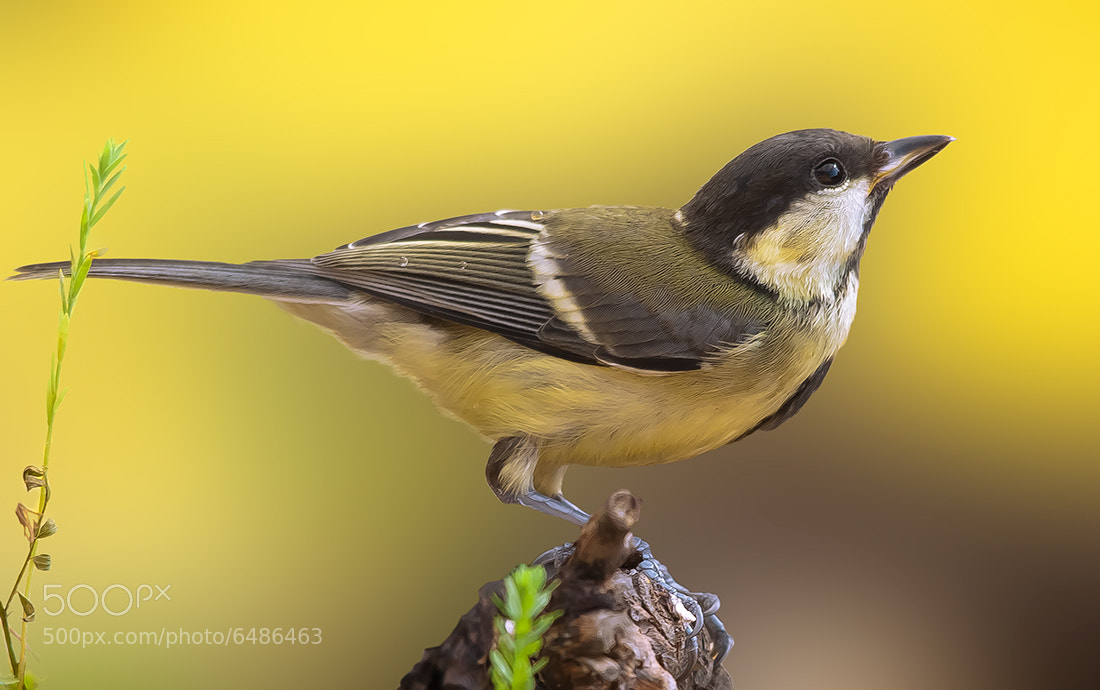 Photograph Tit by Fred Bejins on 500px