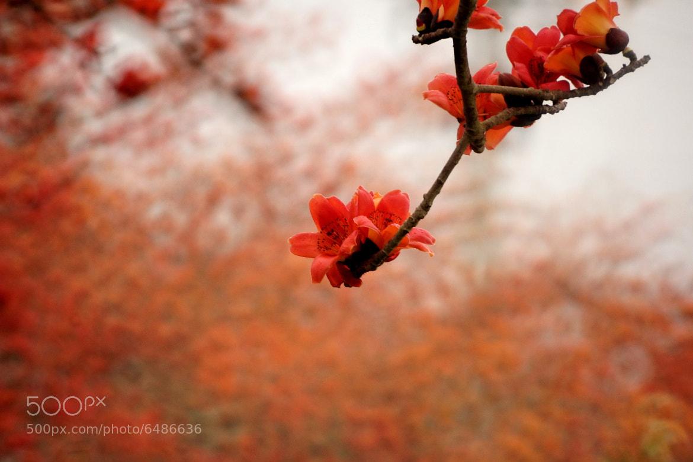 Photograph Kapok flower season. by RL Yen on 500px