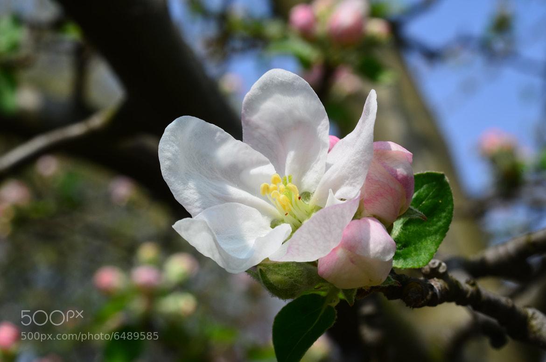 Photograph Apple blossom by Norbert Svojtka on 500px