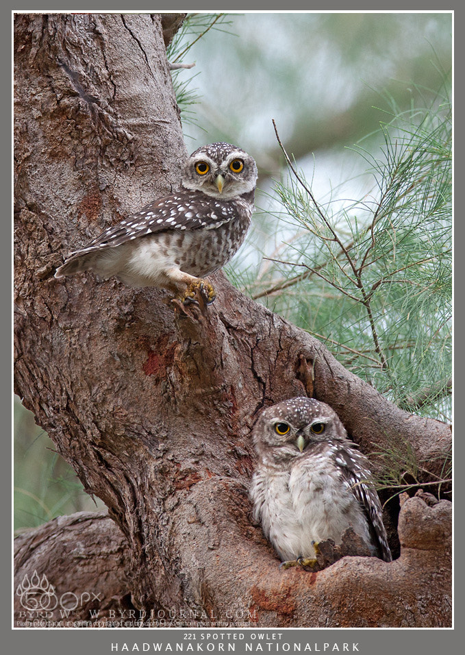 Photograph SPOTTED OWLET  by Byrd L Mongkol on 500px