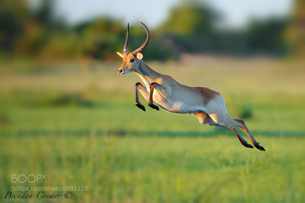 Photograph Leaping Letchwe by Brendon Cremer on 500px