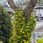 Yellow flowers growing on an old tree that is giving us all the peace sign.  One of the many beautiful artifacts in Summerland, California.
