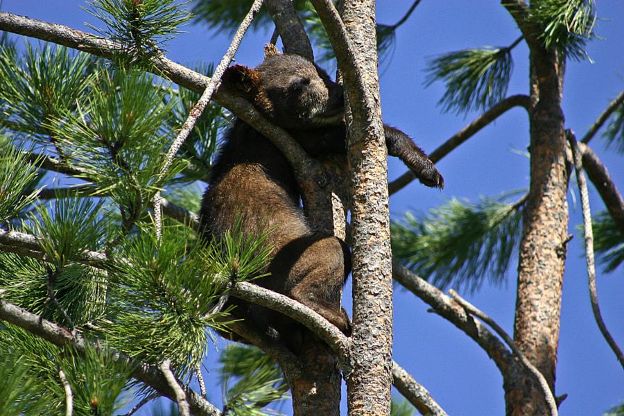Bear cub resting in a tree