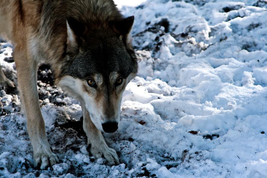 Wolf encounter