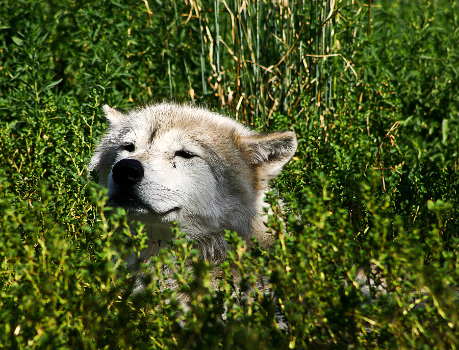 Wolf hide-out