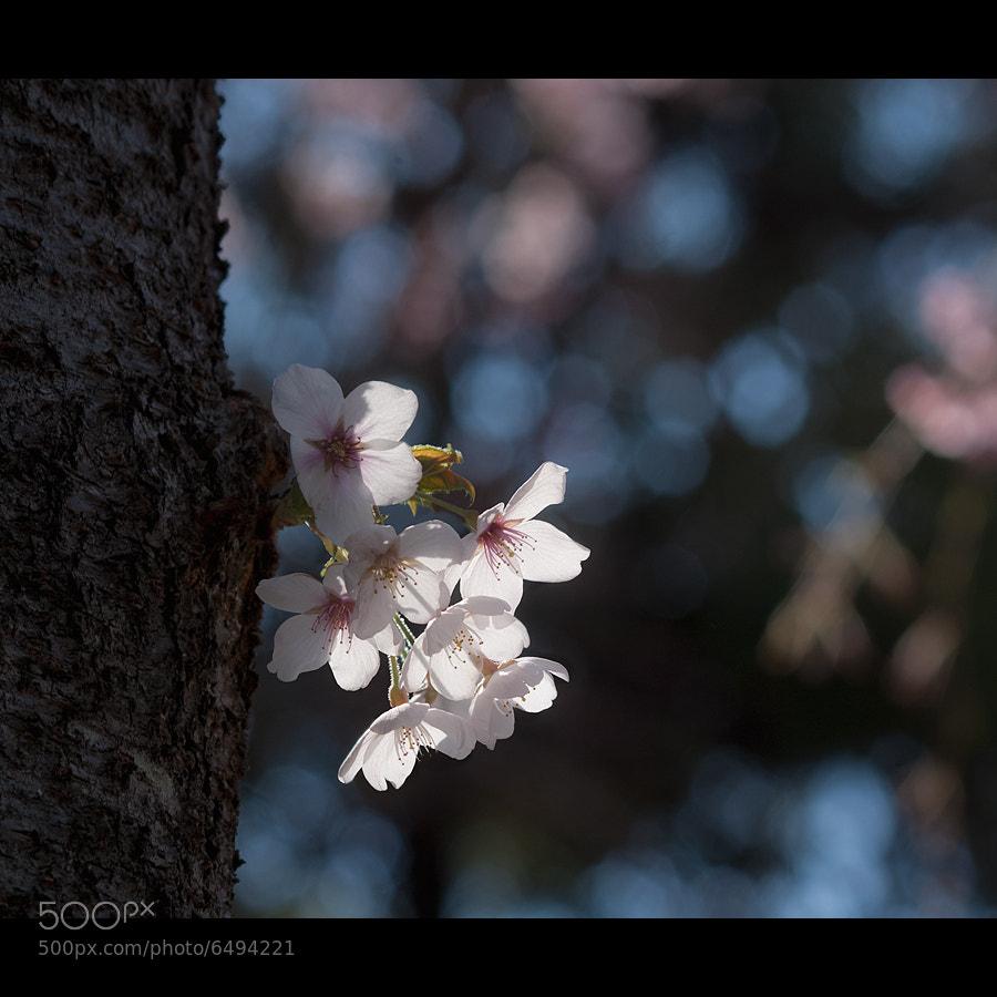 Photograph sakura by lissajous _ on 500px