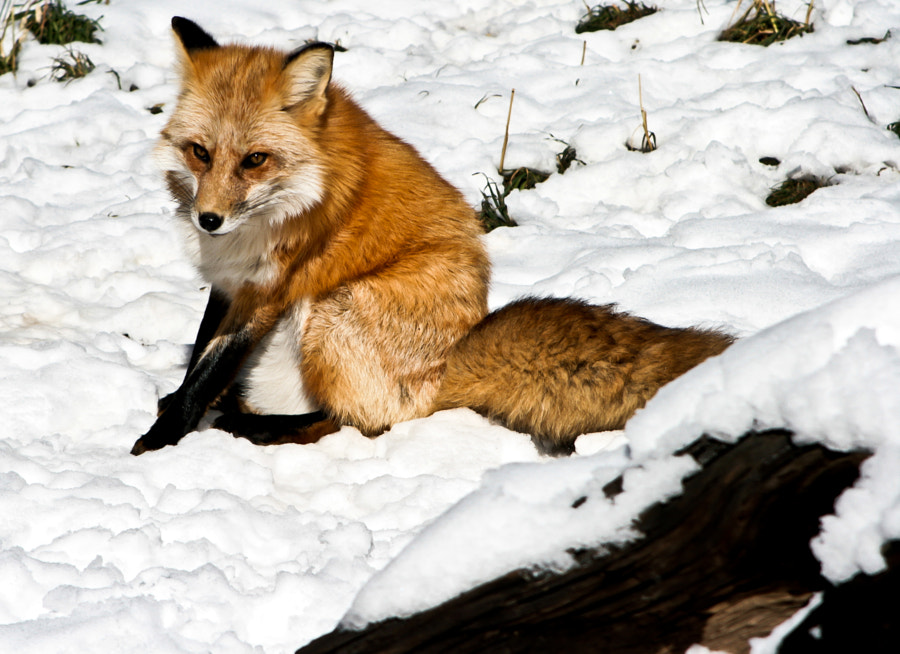 Red fox in his winter coat
